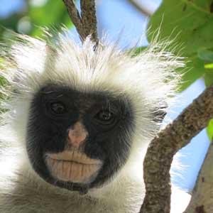 I Jozani regnskog kommer du nära aporna