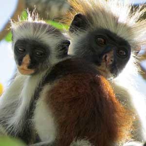 Jozani-Zanzibar-Red-Colobus-Monkey