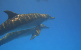 Dolphins at Kizimkazi, Zanzibar
