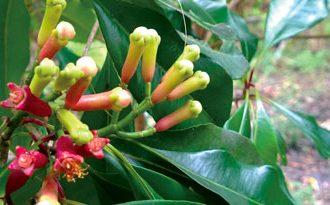 Cloves on a Zanzibar Spice Tour