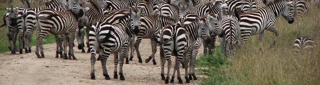 Safari Tanzania Migration Zebror