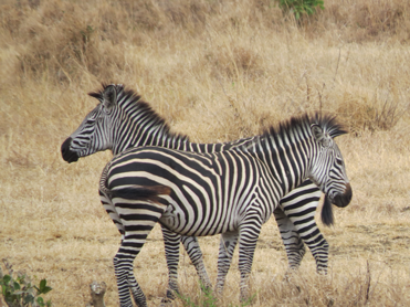 Zebras in Selous during a safari and Zanzibar adventure