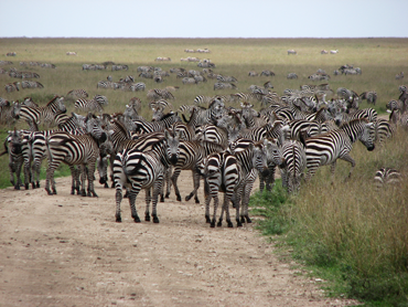 Zebras on a Serengeti Zanzibar safari