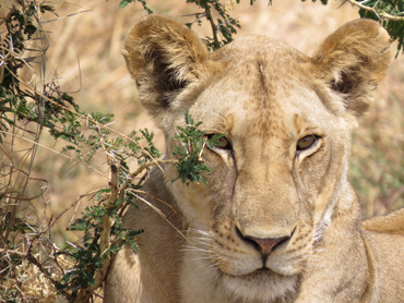 Lion at Mikumi
