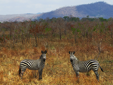 Zebras at Mikumi