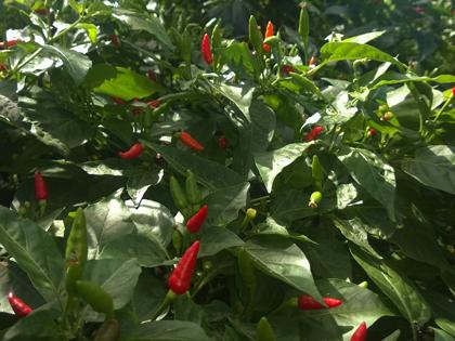 Taste Zanzibar chilli