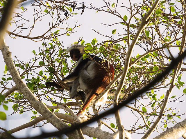 Red Colocbus Mokey in the tree in Jambiani