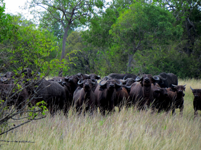 African buffalo in Saadani