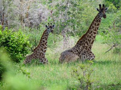 Sitting girafees in Saadani National aprk