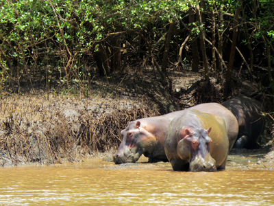 Flodhästar i Wami River Saadani