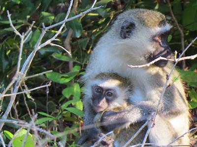Monkeys at Simply Saadani Camp
