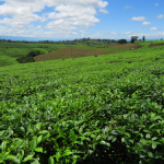 Tea plantations, Southern Highlands