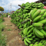 Bananans in Tukuyu, Tazania Southern Highlands