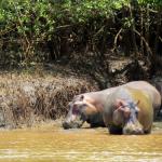 Hippos at Wami River, Saadani