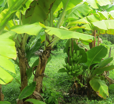 Banana tress on Zanzibar fruit tasting