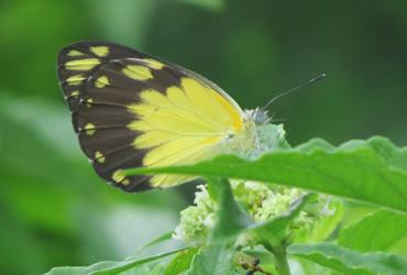 ZAnzibar fruit tasting butterfly in the garden