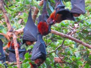The big bats on Pemba hanging in the tree