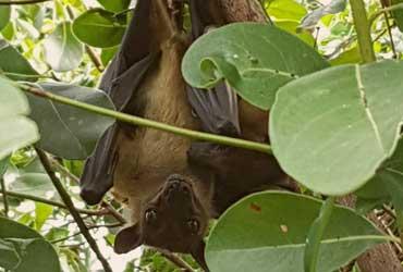 One of the thousands bats on Chapwani Zanzibar