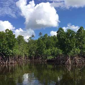 Mangroveskog på Zanzibar